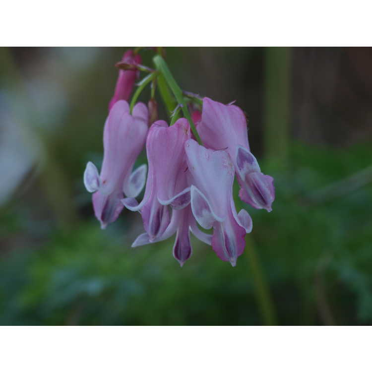 Dicentra Amore Pink