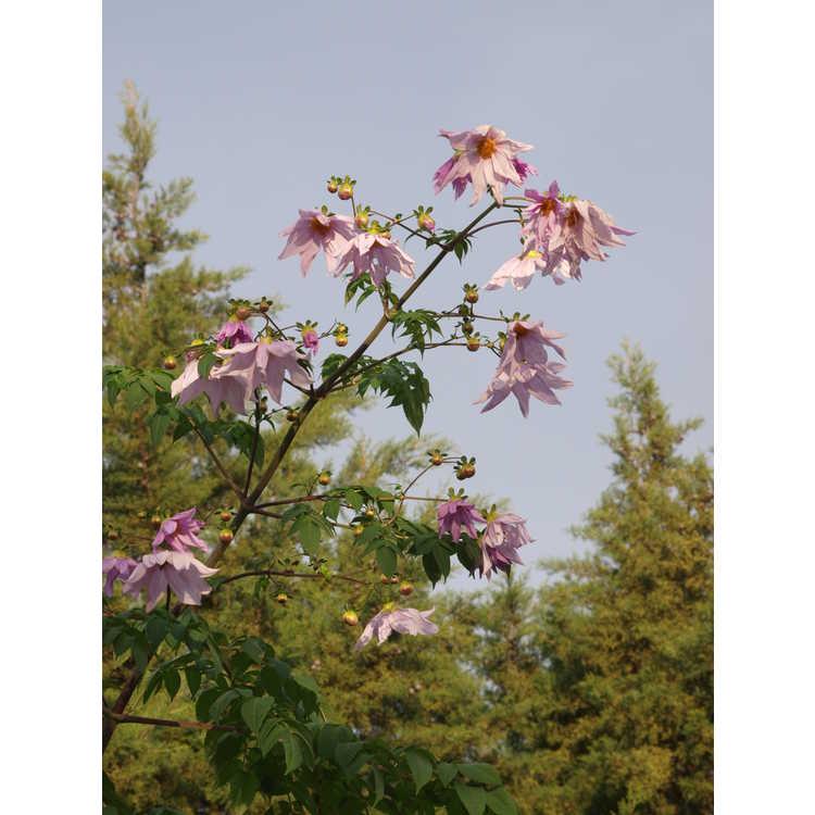 Dahlia imperialis - tree dahlia
