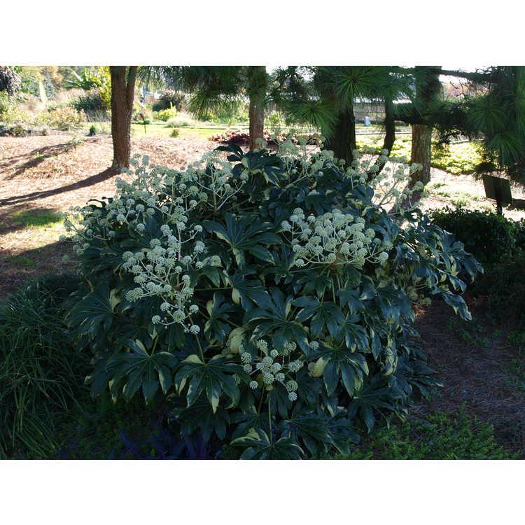 Fatsia japonica Variegata