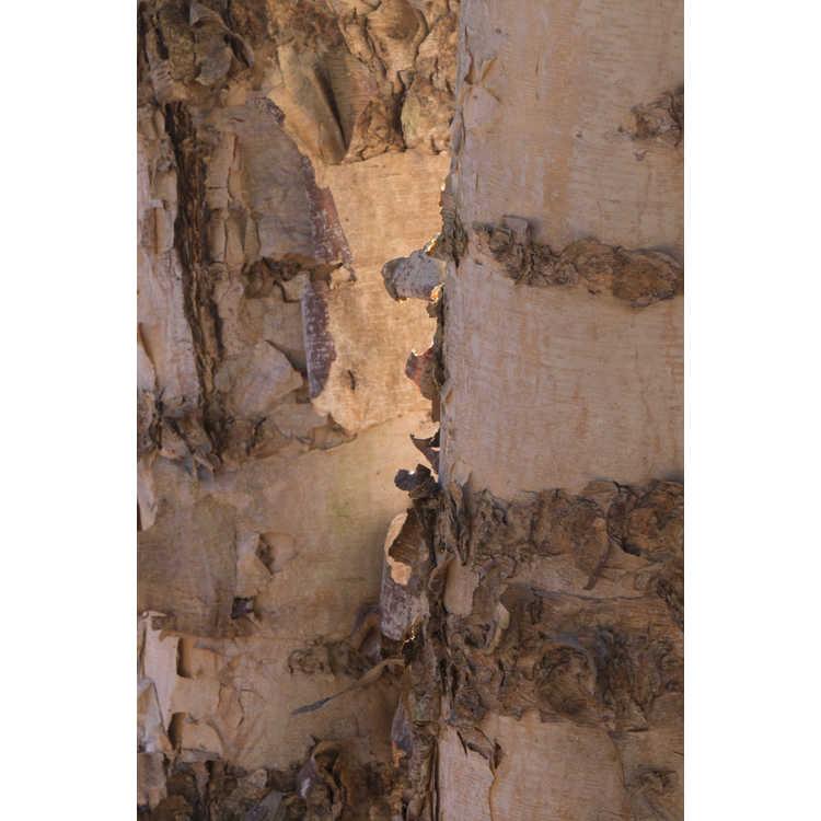 Betula nigra 'Improved Heritage' - river birch