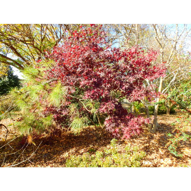 Acer palmatum 'Red Baron' - red-leaf Japanese maple
