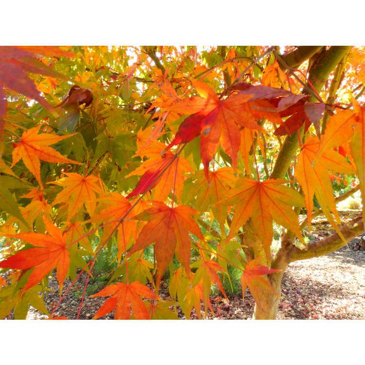 Acer palmatum 'Asahi Zuru' - variegated Japanese maple