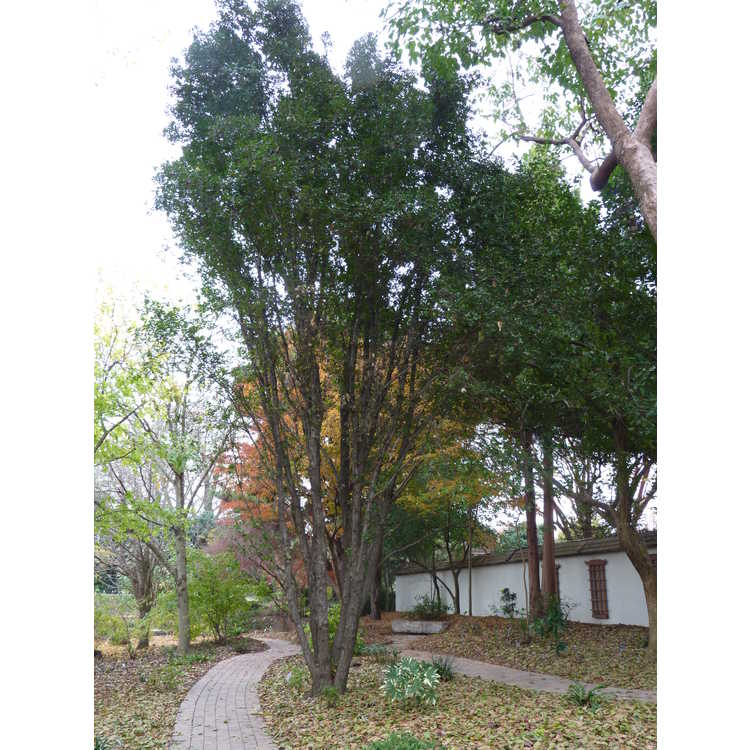 Quercus phillyreoides 'Emerald Sentinel'
