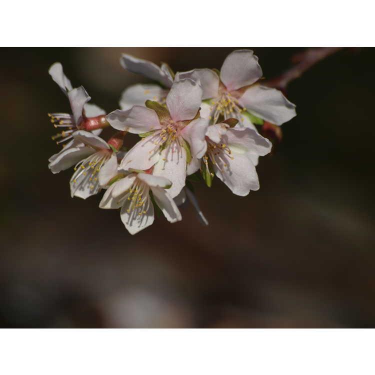 Prunus incisa 'Shikizaki' - weeping Fuji cherry