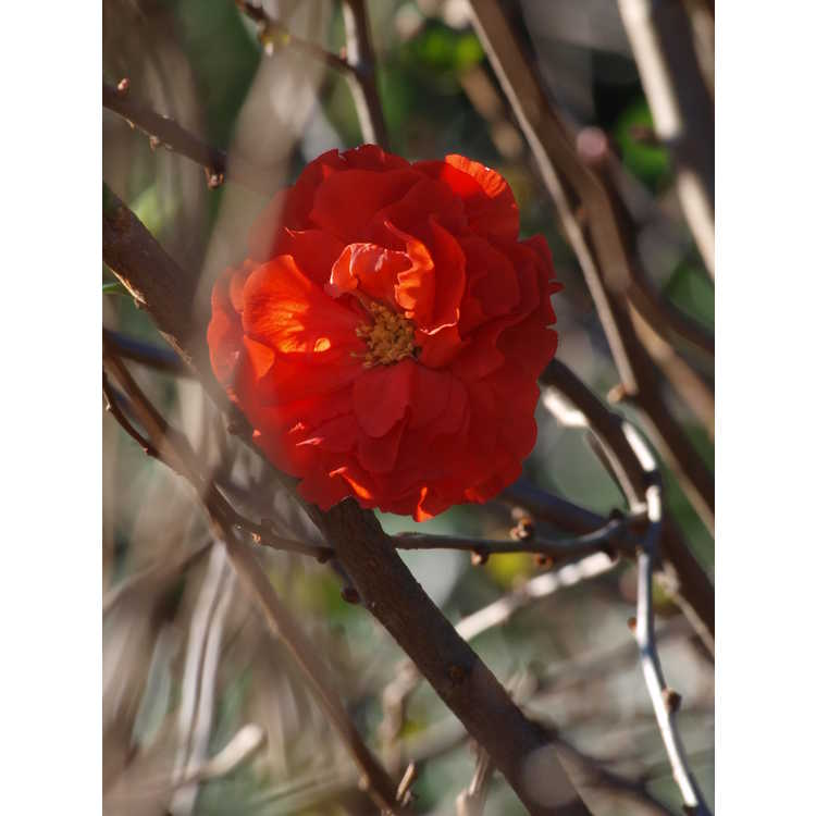 Chaenomeles 'Orange Storm' - Double Take hybrid flowering quince