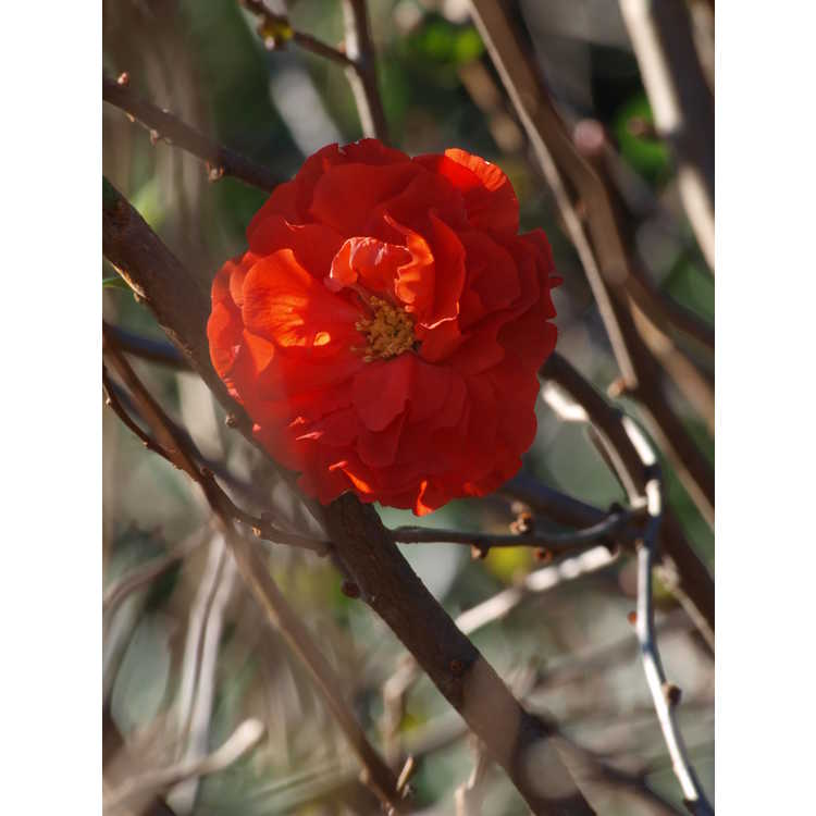 Chaenomeles Orange Storm Double Take