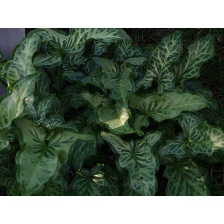 Arum italicum (#1)