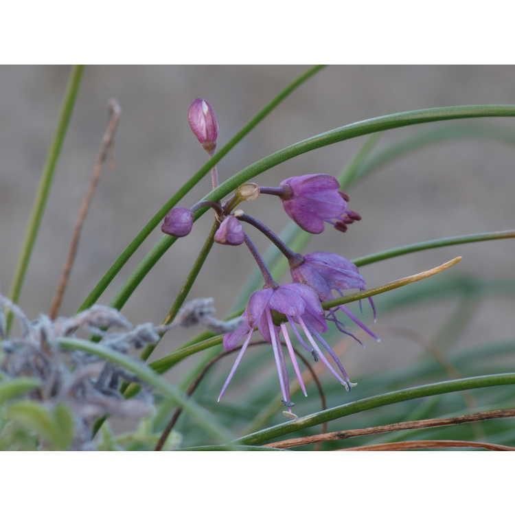 Allium virgunculae var. kiiense