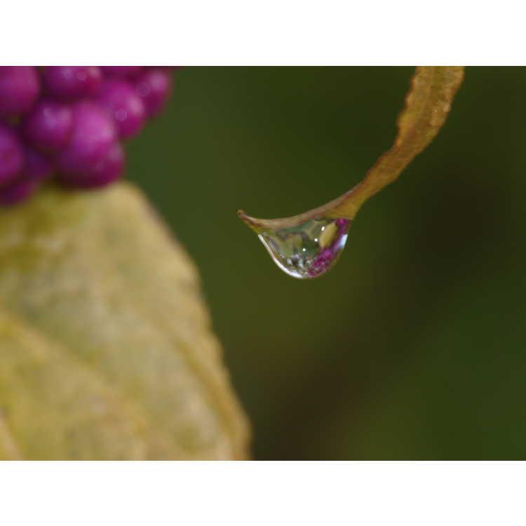 Callicarpa oshimensis - beautyberry
