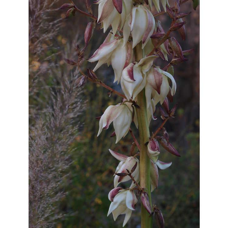 Yucca gloriosa 'Lone Star' - Spanish bayonet