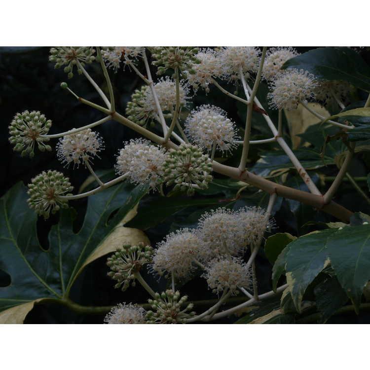Fatsia japonica 'Variegata' - variegated Japanese fatsia