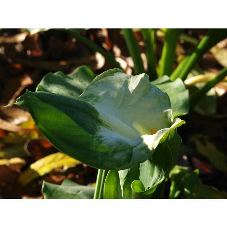 Zantedeschia aethiopica 'Green Goddess'
