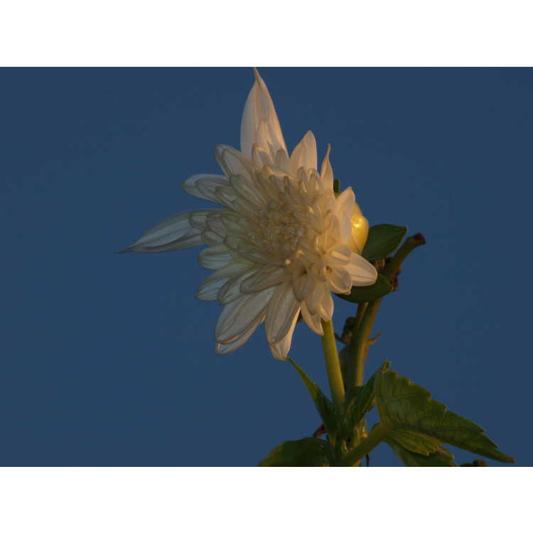 Dahlia imperialis double white
