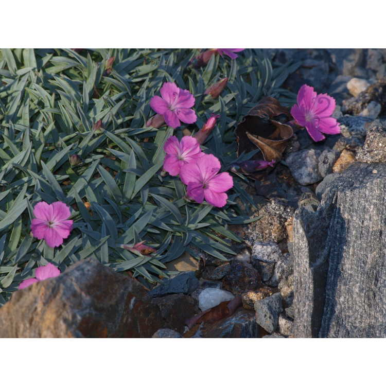 Dianthus ex. Blue Hills