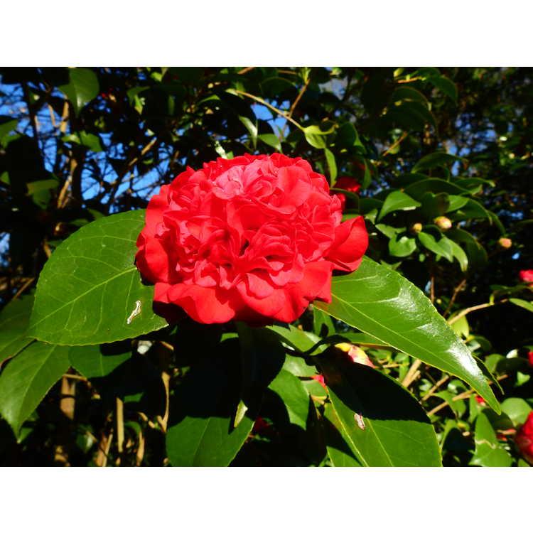 Camellia japonica Professor Sargent