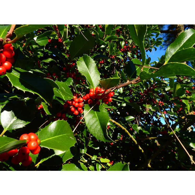 Ilex ×koehneana 'Martha Berry' - Koehne holly