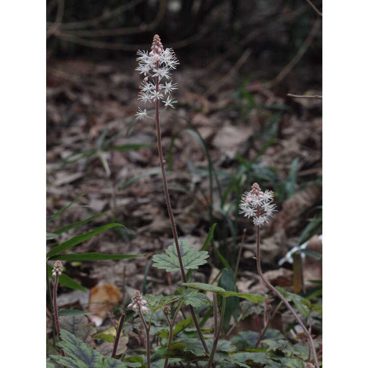 Tiarella 'Happy Trails'
