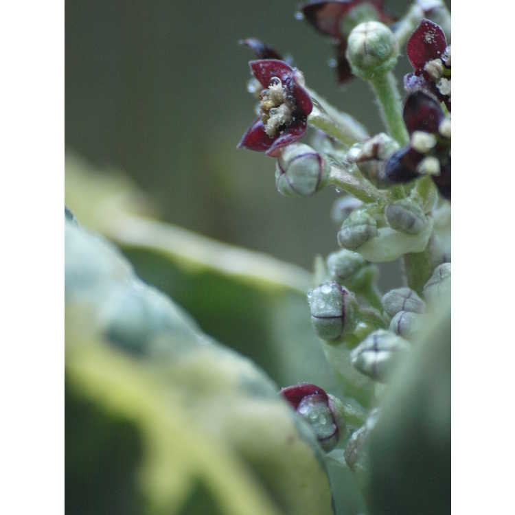 Aucuba japonica (cream-white, contorted)