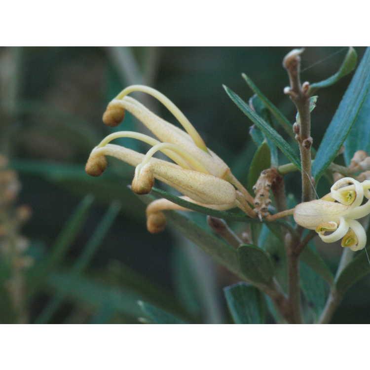 Grevillea 'Poorinda Leane' - grevillea