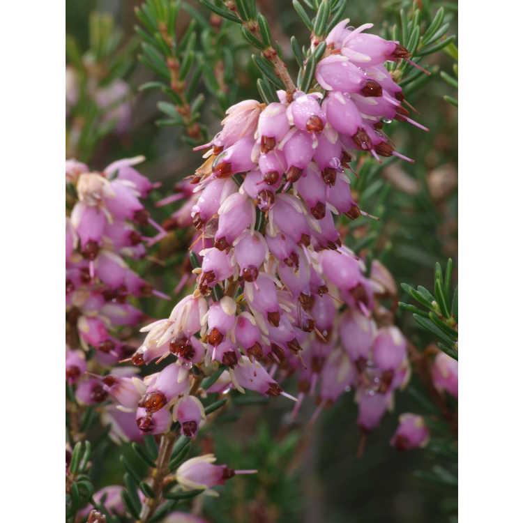 Erica darleyensis Mediterranean Pink