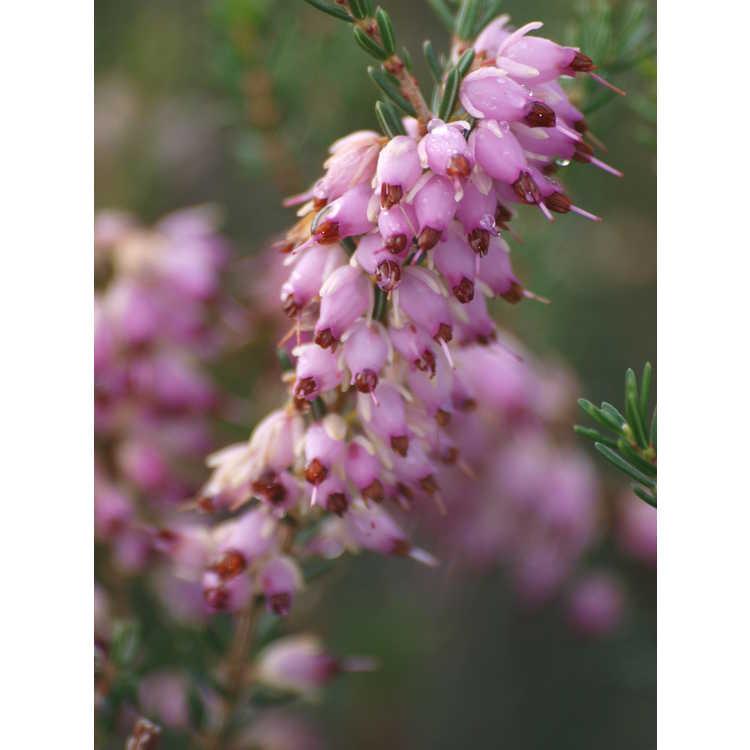 Erica ×darleyensis 'Mediterranean Pink' - Darley heath