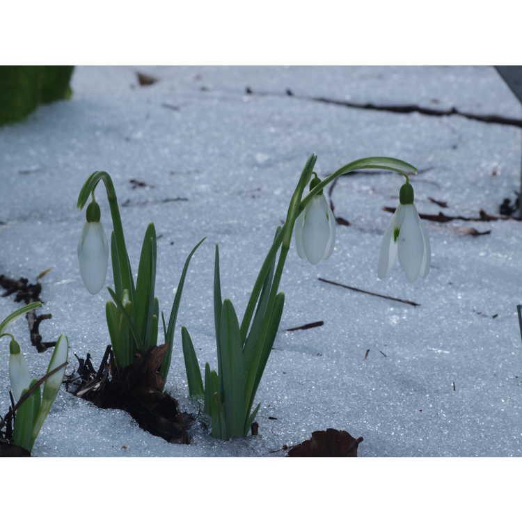 Galanthus nivalis 'Magnet'
