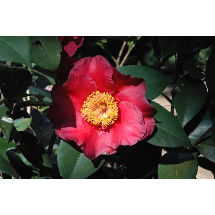 Camellia japonica 'Dr. J.C. Raulston' - Japanese Camellia