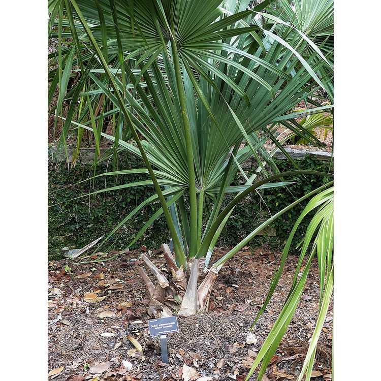 Sabal ×brazoriensis - hybrid palmetto