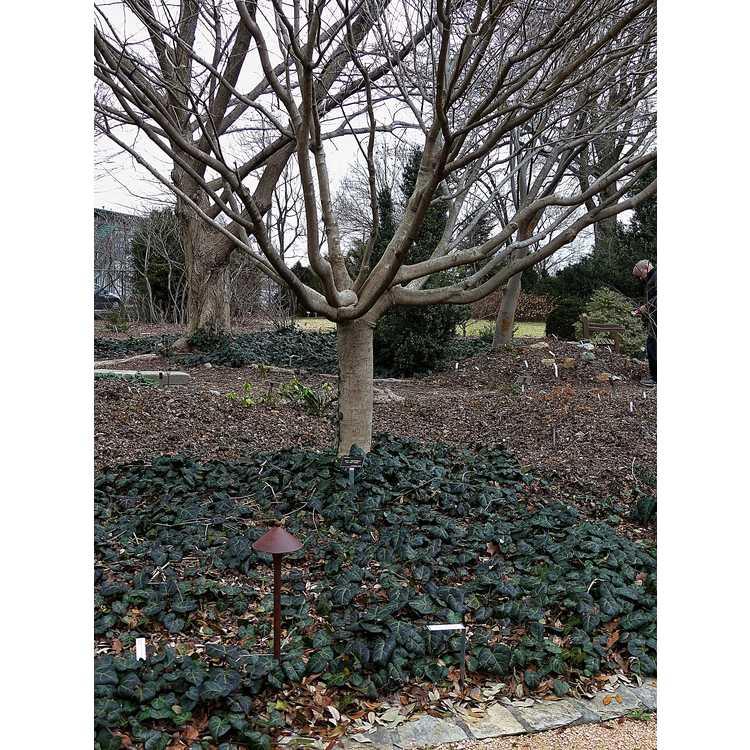 Acer cissifolium - ivy-leaf maple