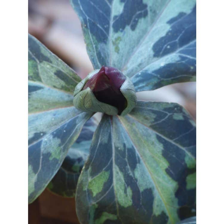 Trillium maculatum (Gainesville, FL form)