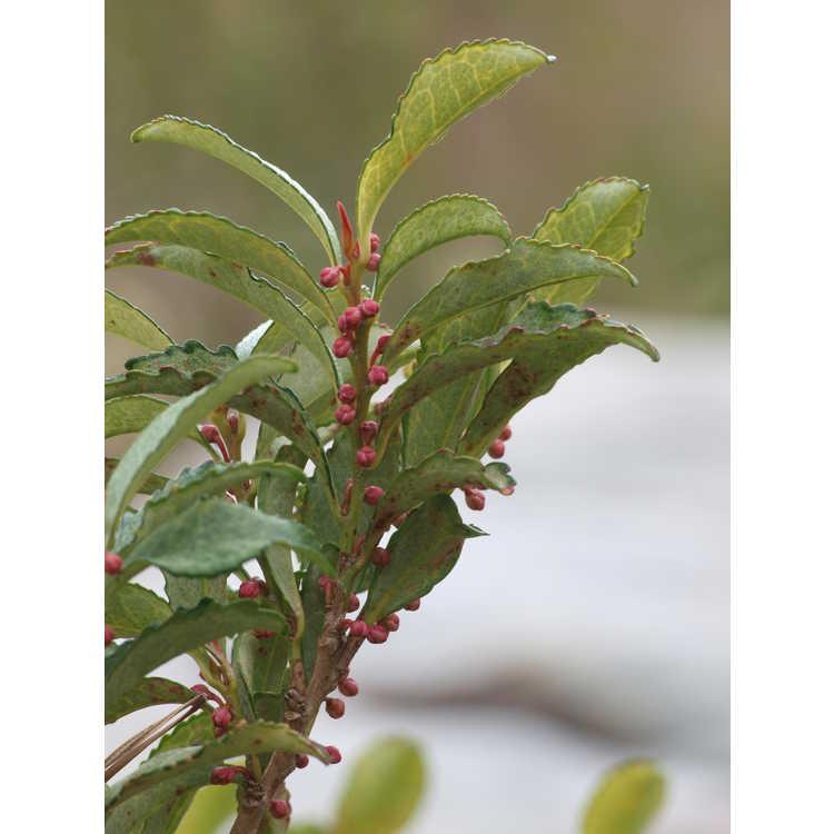 Eurya japonica (variegated) - east asian eurya
