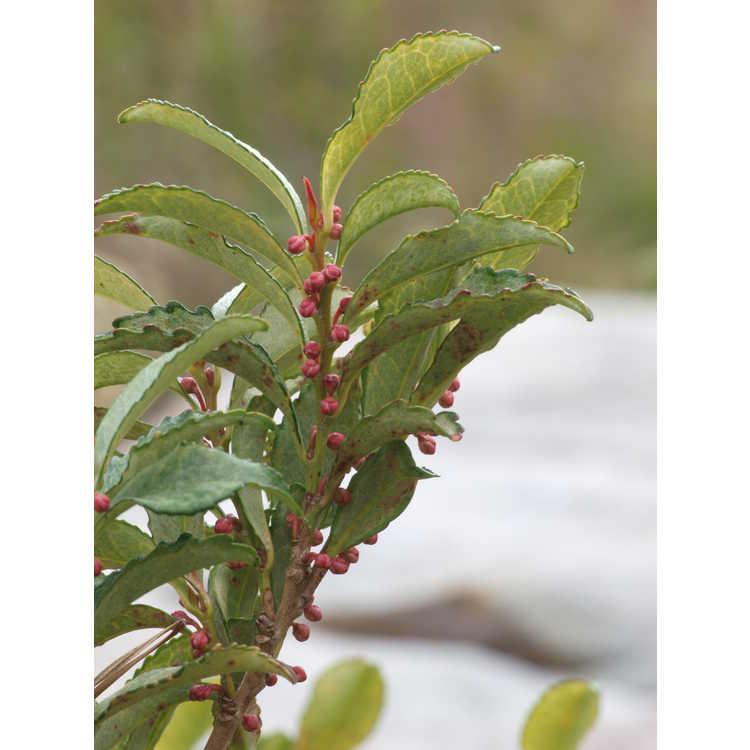 Eurya japonica (variegated)