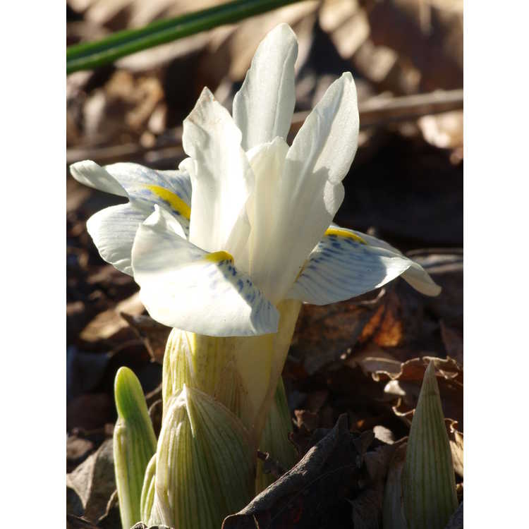 Iris histrioides 'Finola' - reticulate iris