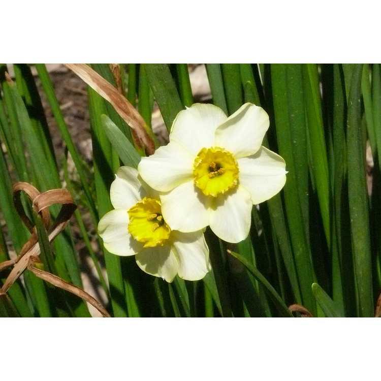 Narcissus 'Canarybird' - tazetta daffodil
