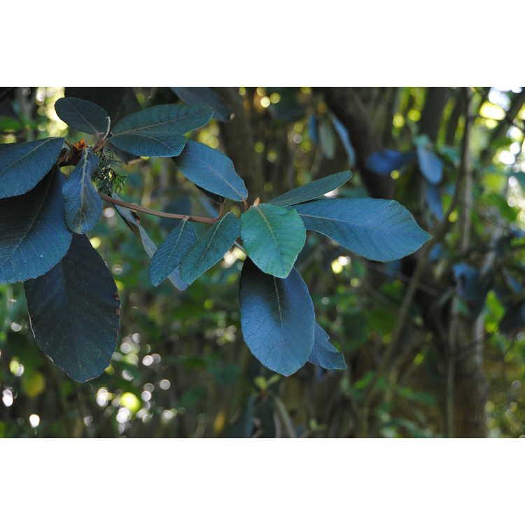 Clethra mexicana - Mexican clethra