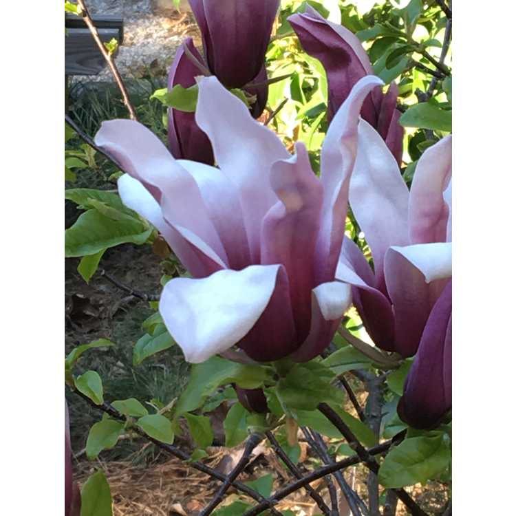 Magnolia liliiflora 'Minnie Mouse' - lily magnolia