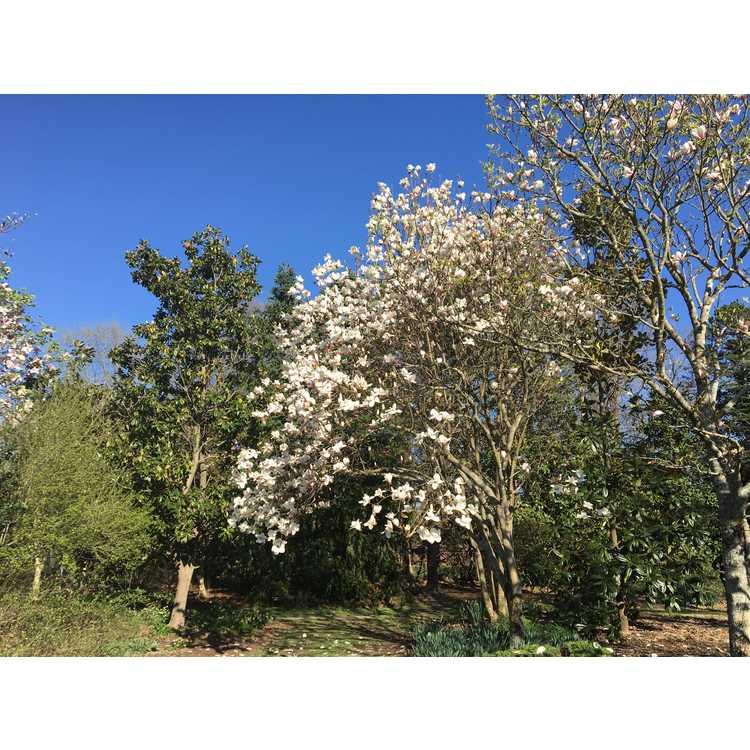 Magnolia 'Goldfinch'