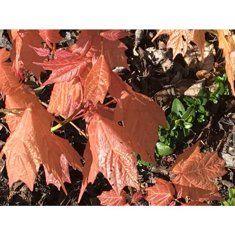 Acer skutchii 'Tequila Sunrise'