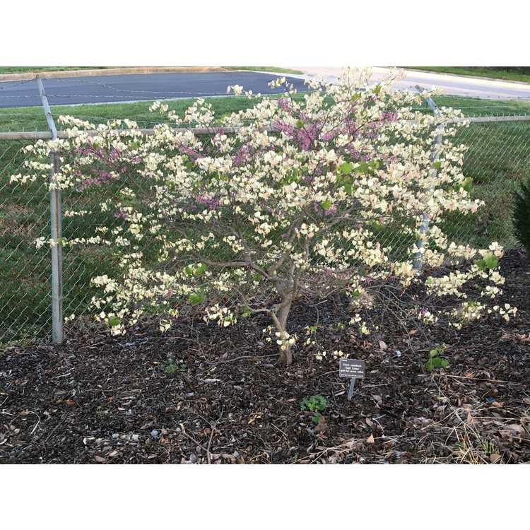 Cercis canadensis Gold Crown