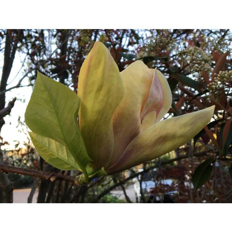 Magnolia 'Sunsation' - Kehr hybrid magnolia
