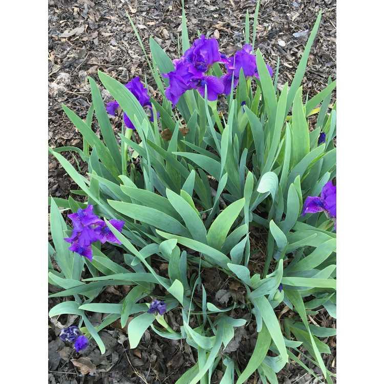 Iris 'Flower Shower' - dwarf hybrid iris