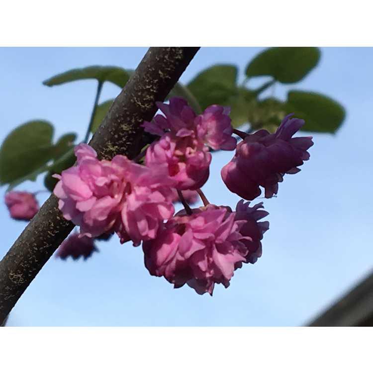Cercis canadensis 'Pink Pom Poms' - double flowered redbud