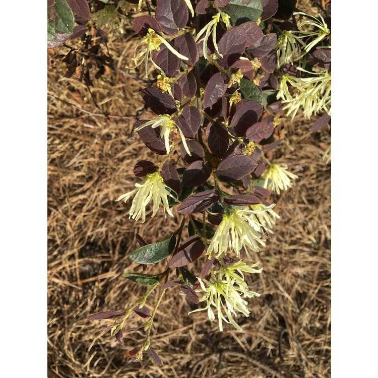 Loropetalum chinense var. rubrum 'Spg-3-002' - Ruby Snow white-flower, purple-leaf loropetalum