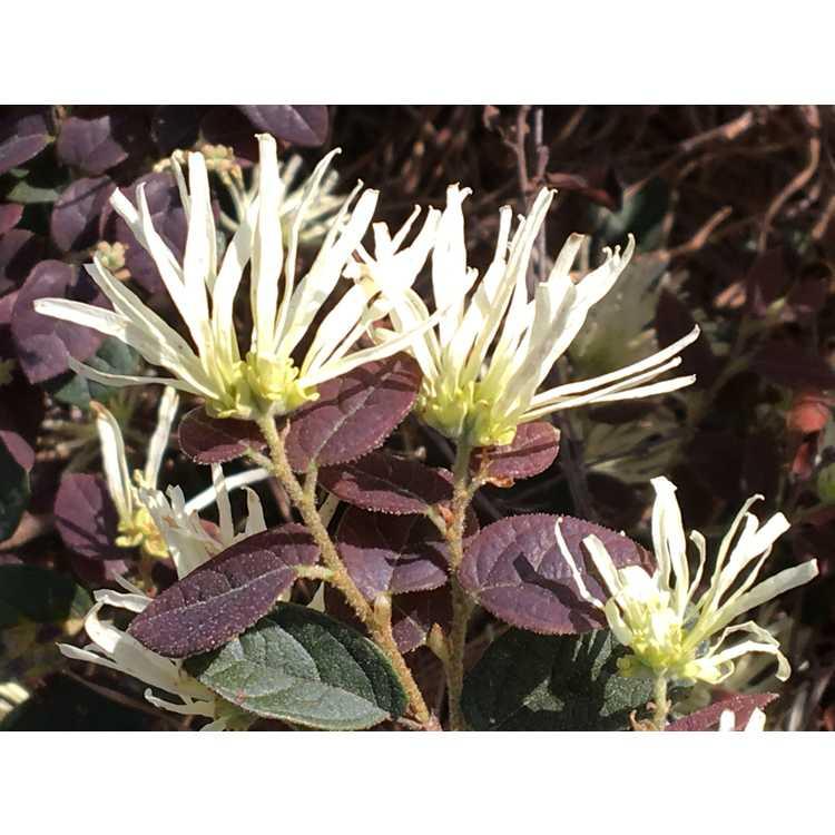Loropetalum chinense rubrum Spg-3-002 Ruby Snow