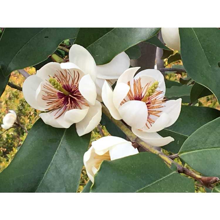 Magnolia 'Dozen Eggs'