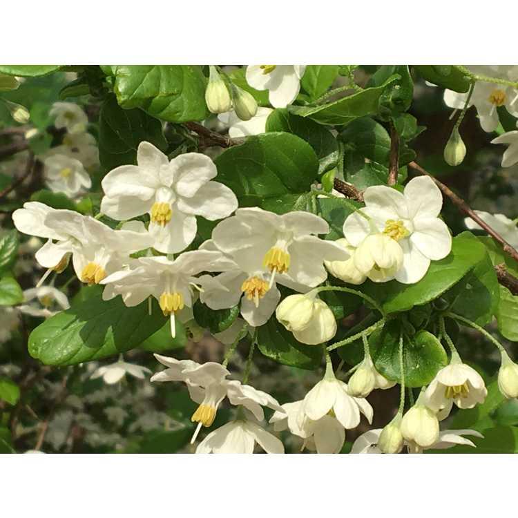 Sinojackia xylocarpa 'La Grima' - upright Chinese jacktree