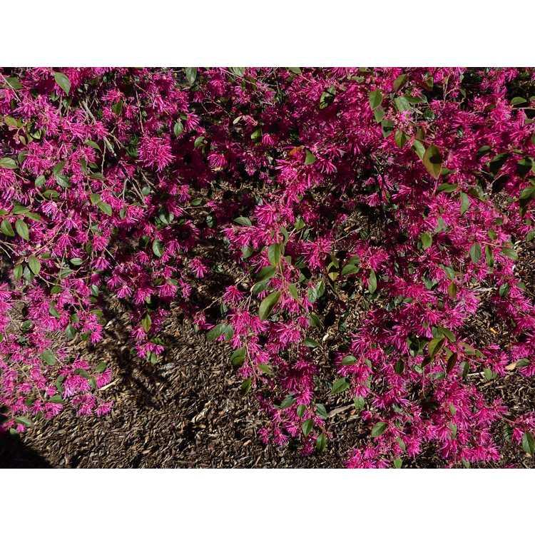 Loropetalum chinense var. rubrum 'Zhuzhou Fuchsia' - purple-leaf Chinese fringe-flower