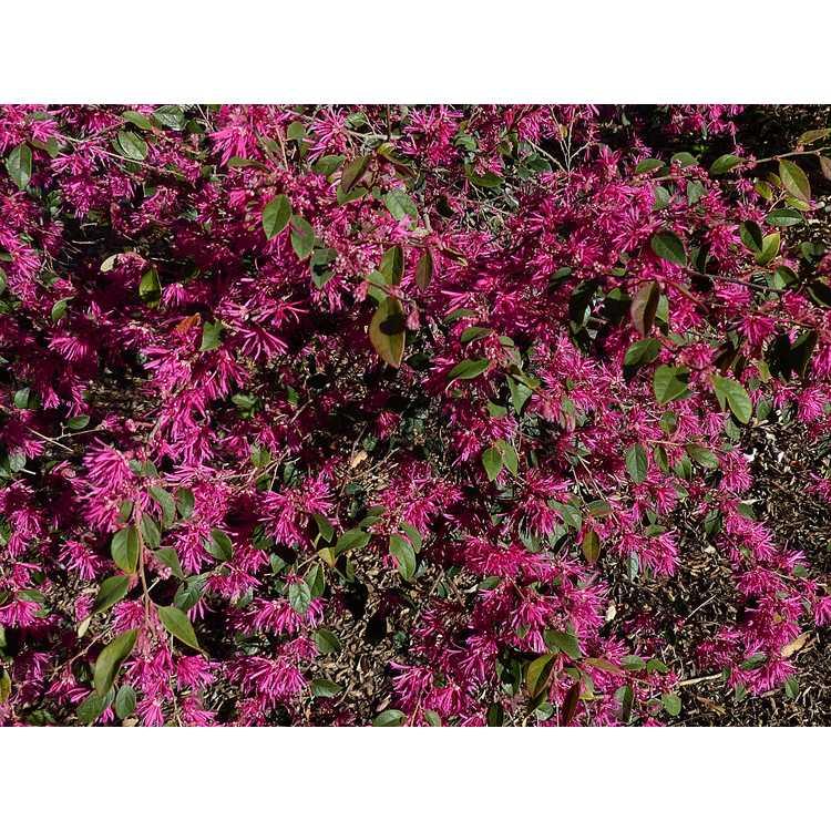 Loropetalum chinense rubrum Zhuzhou Fuchsia