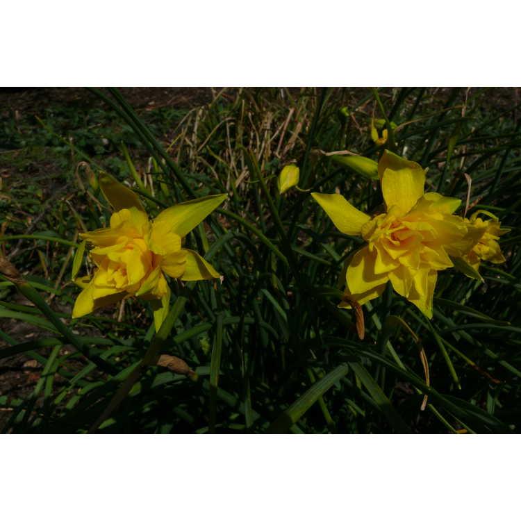 Narcissus ×odorus 'Plenus' - daffodil