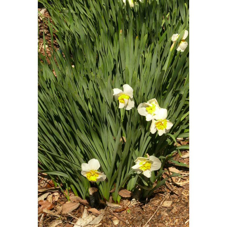 Narcissus 'Doctor Alex Fleming' - large-cupped daffodil